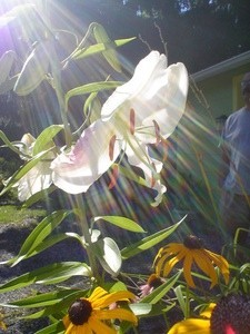 photo of white lily with sun rays
