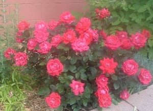Double knock out rose bush.