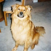 Nikki (Chow Chow/Golden Retriever)