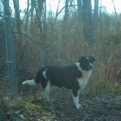 Willy (Border Collie)
