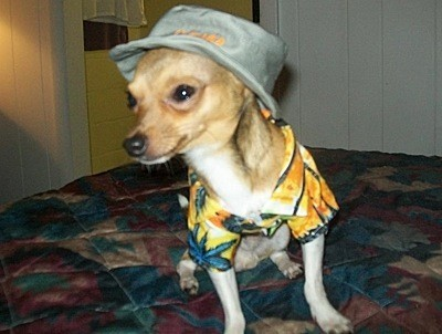 Chihuahua wearing a hat and shirt.