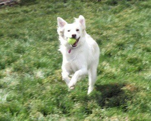 White dog running with ball in its mouth.