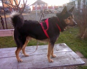 Large black and brown dog with red halter.