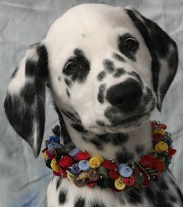Closeup of Dalmatian.