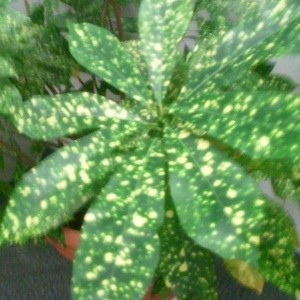 Yellow speckled green foliage plant.