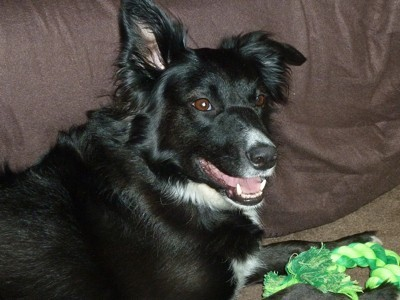 Poppy (Border Collie)