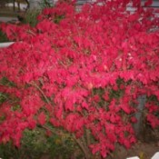 bright red foliage