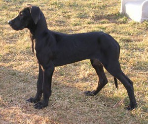 Mable (Great Dane)