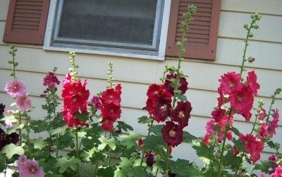 Hollyhocks in the garden.