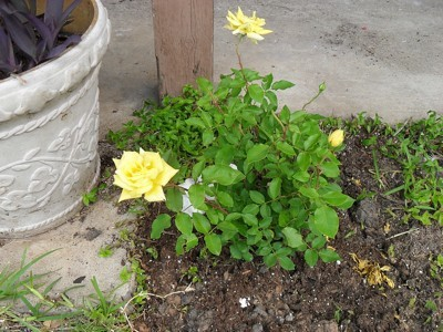 Small yellow rose bush.