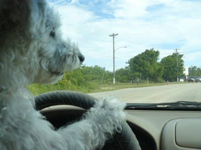 Tasi with paw on steering wheel.