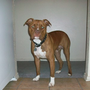 Rico (Red Nose Pit Bull)