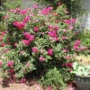 Blooming rose bush.
