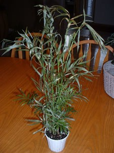 Tall multistemmed house plant with narrow leaves.