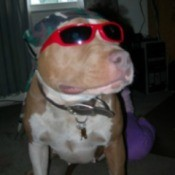 Gypsy (Pitbull Terrier)