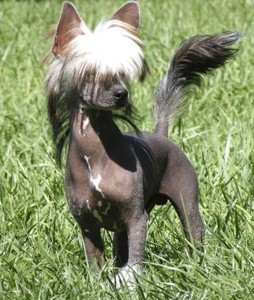 Biggie Smalls (Hairless Chinese Crested)