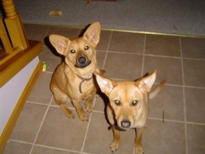 Two short tan dogs with large ears