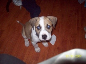 Light brown and white puppy looking at camera.