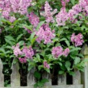 Pruning And Rejuvenating Overgrown Lilacs