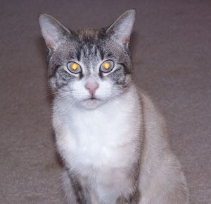 Gray and white tabby and Siamese mix.