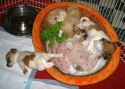 Three Jack Russell puppies asleep.