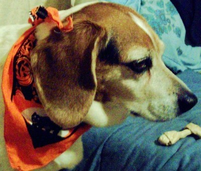 Dog with an orange Halloween print  scarf.