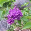 Purple lilac blooms.