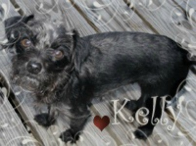 Kelly (Jack Russell/Toy Poodle)