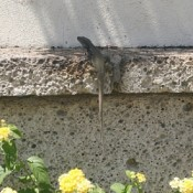 Lizard on concrete wall.