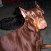 Red Doberman.