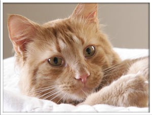 Closeup of reddish orange tabby.