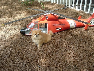 Pomeranian in front of a small helicopter.
