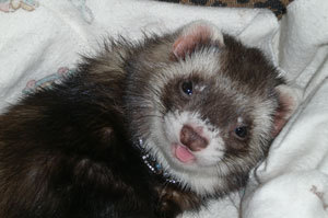 Moo Moo (Sable Ferret)