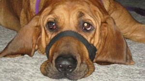 Luke (Redbone Hound Dog)