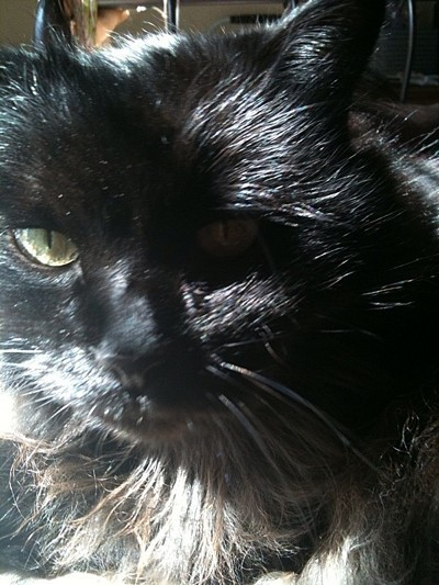 Closeup of black cat.