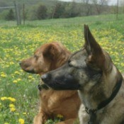 Rottie mix and Malinois in a field of yellow flowers.