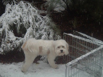 White dog in the snow.