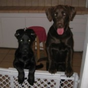 Kisser And Hugger (Chocolate Lab And Black Lab Mix)