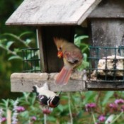 Cardinal and Woodpecker