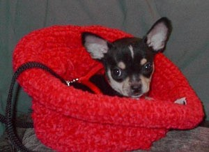 Black and tan dog in red knit hat.