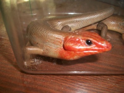 Closeup of skink.