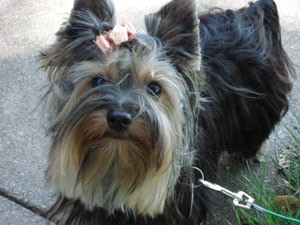 Yorkie with a pink bow.
