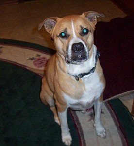 Photos of pit bull boxer mix dog breeds picture