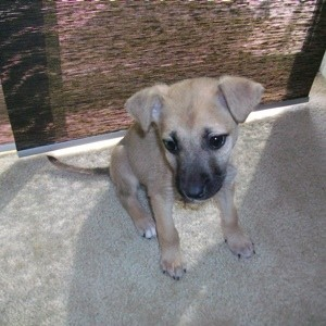 Very light greyish tan puppy with black muzzle.
