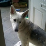 White dog with markings on back and large stand up ears.