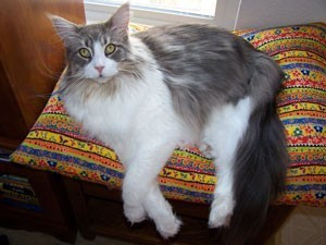 Grey and white cat on pillow.