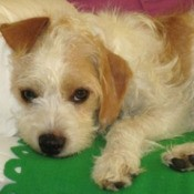 White and tan wiry terrier.
