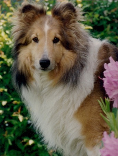 In Memory of Rusty (Sheltie)