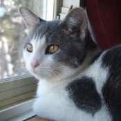 Dolce (Domestic Shorthair)