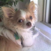 Chili (Long Haired Chihuahua)